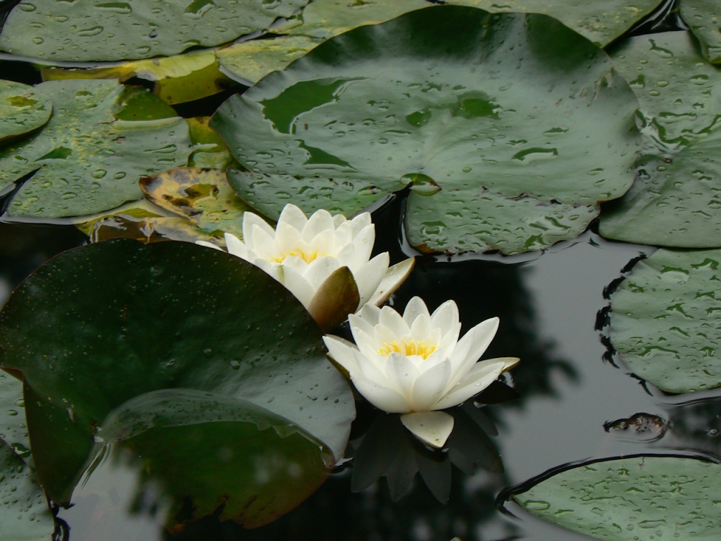 Water Lilies 01, 2020