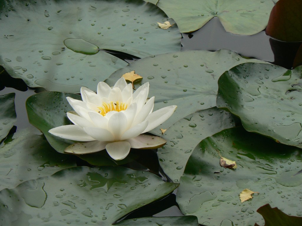Water Lilies 02, 2020